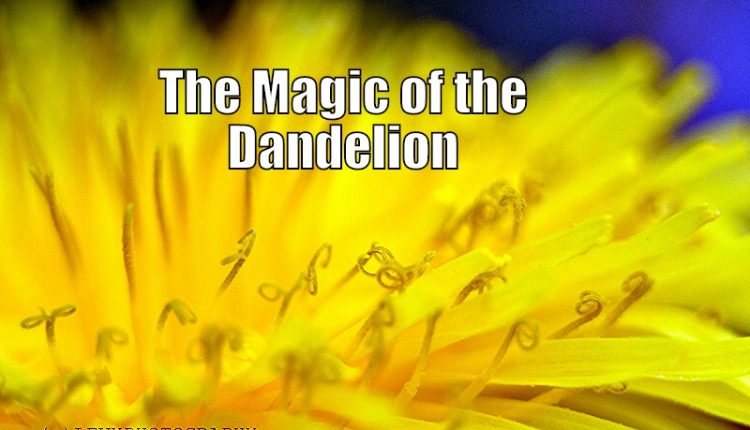 The Magickal Dandelion